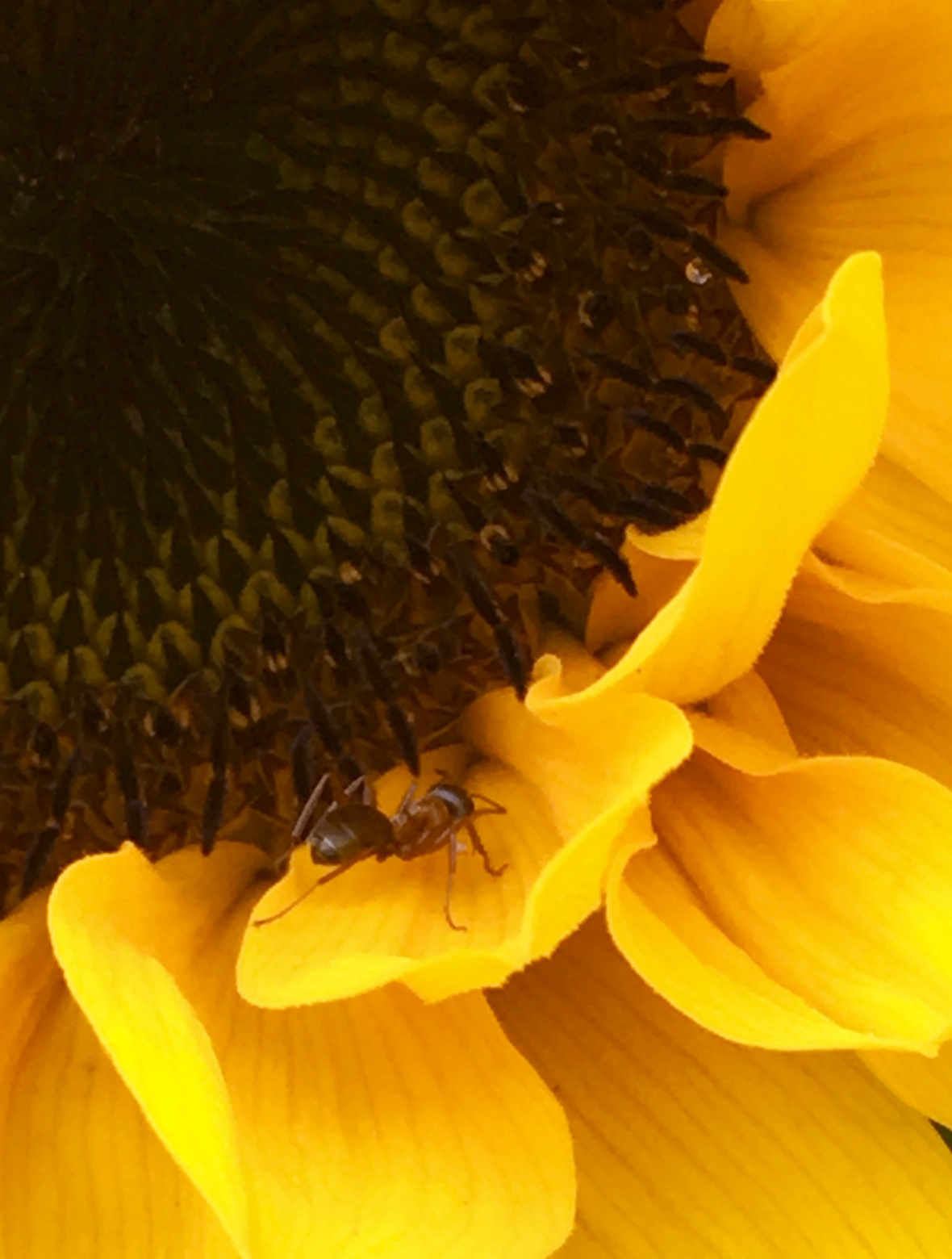 sweet-spot-ant-sunflower