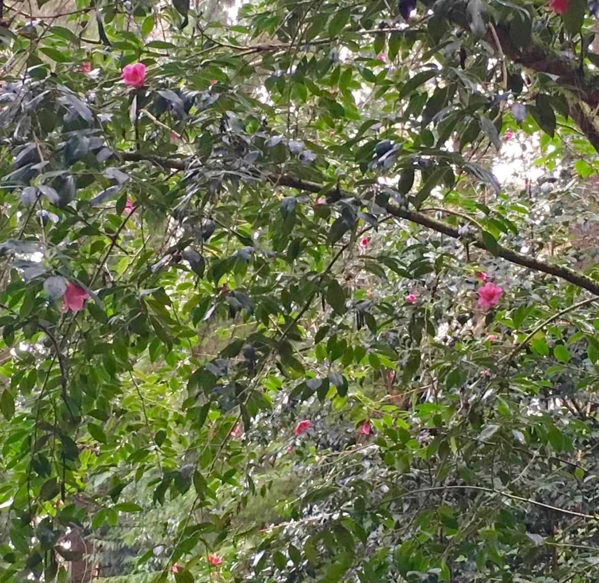 bloedel-camelia-canopy