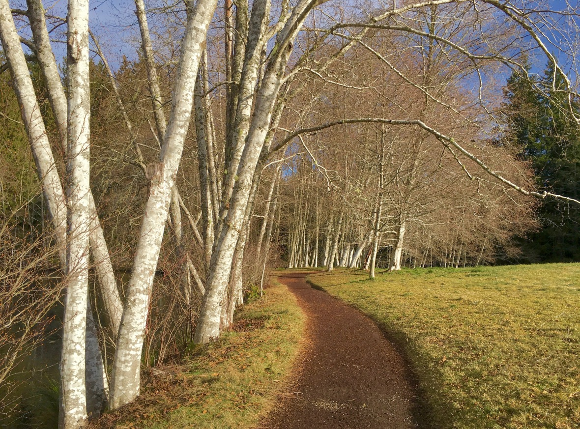 bloedel path birches.jpg