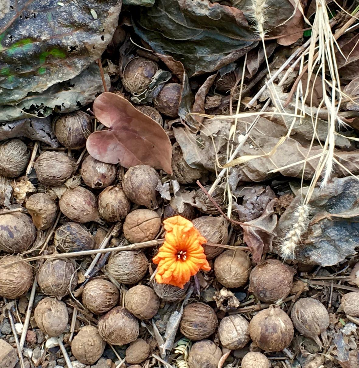 hawaii-macadamia-nuts