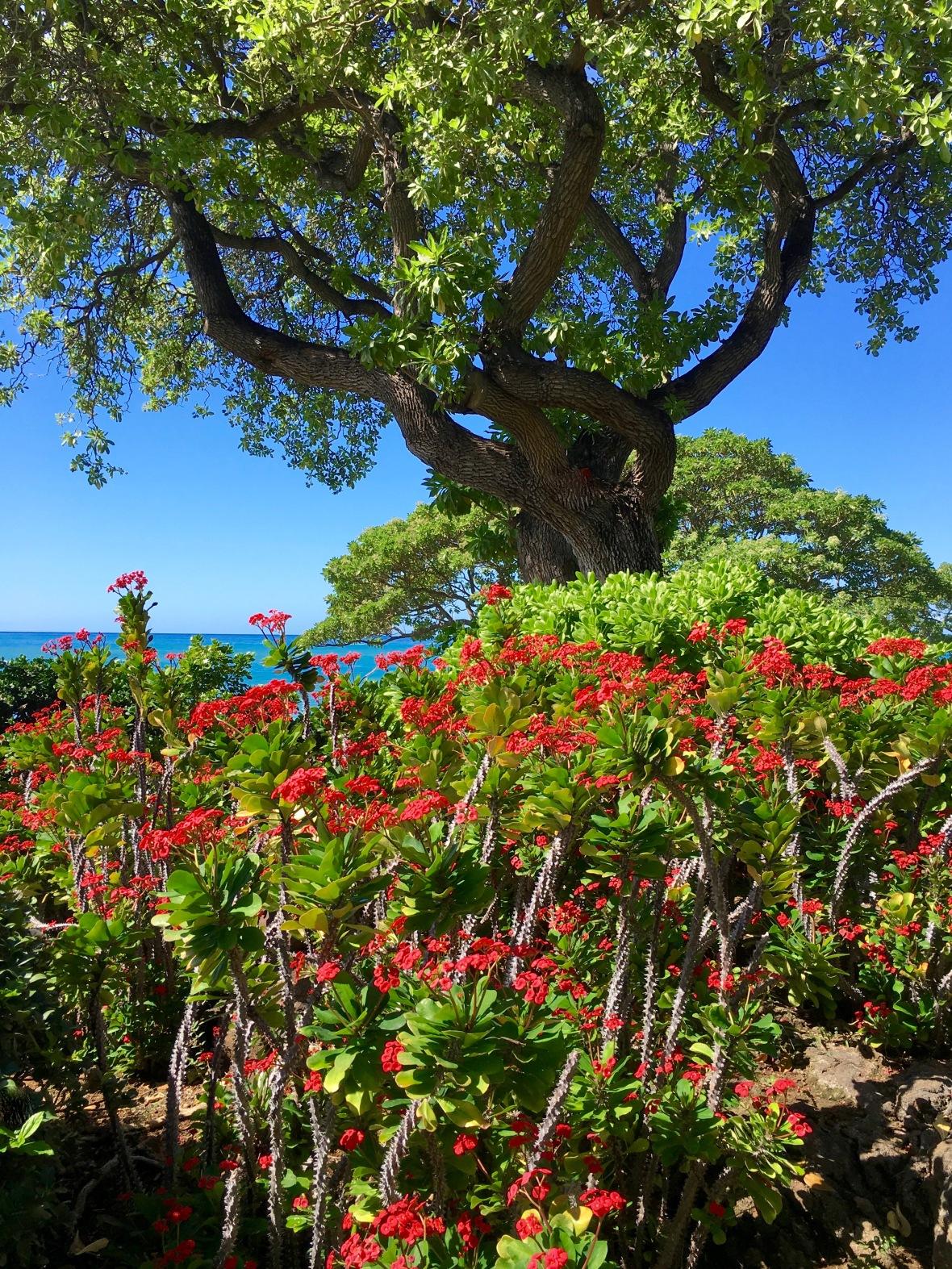 hawaii-red-euphorbia-base-of-tree
